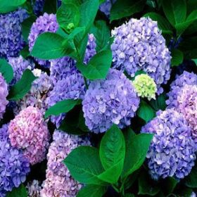 Семена гортензии фиолетовой, 100шт