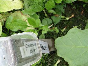 Семена табака сорта Ahus