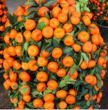 Семена карликового мандаринового дерева