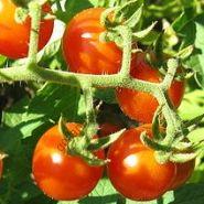 """Томат сорт """"ПРАРОДИТЕЛЬ"""" (Solanum pimpinellifolium)  30 семян"""