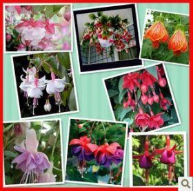 Семена Фуксии, смесь цветов, 100 шт.