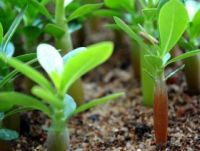 Семена Адениума тучного, смесь цветов, 10 шт