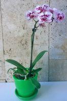 Зеленый с мини орхидеей