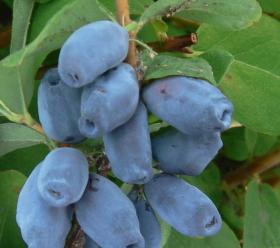 Жимолость плодовая Мальвина
