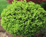 Ель обыкновенная Литл Джем (Picea abies Little Gem)