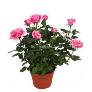 Цветущая розовая минироза