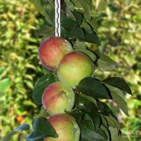 Яблоня колоновидная Восторг