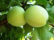 Яблоня традиционная Белый налив