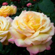 Роза чайно-гибридная Глория Дэй (Rose hybrid tea Gloria Dei)
