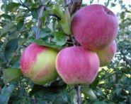 Яблоня традиционная Коричное Полосатое