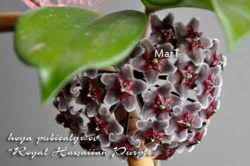 """hoya pubicalyx cv. """"Royal Hawaiian Purple """""""
