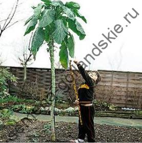 """Капуста """"СДЕЛАЙ ТРОСТЬ"""" (walking stick cabbage) 10 семян"""
