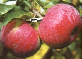 Яблоня традиционная Орловское полесье