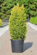 Можжевельник обыкновенный Голд Кон (Juniperus communis Gold Cone)