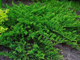 Можжевельник горизонтальный Принц Уэльса (Juniperus horizontalis Prince of Wales)