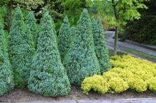 Ель канадская Голубая Сандерс Блю (Picea glauca Sanders Blue)