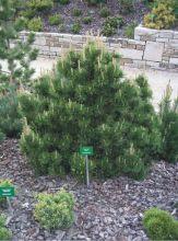 Сосна горная Гном (Pinus mugo Gnom)