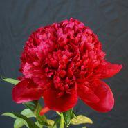 Пион Ред Чарм (Paeonia Red Charm)