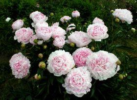 Пион Надежда (Paeonia Nadezhda)