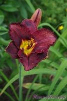 Лилейник 'Блэк Стокингс' / Hemerocallis 'Black Stockings'