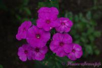 Флокс 'Пурпл Парадайз' / Phlox 'Purple Paradise'