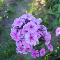 Флокс 'Чюрлёнис' / Phlox 'Churlonis'