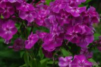 Сеянец флокса 'Провинциалка' / Phlox Seedling 'Provintsialka'
