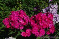 Сеянец флокса 'Торопыжка' / Phlox Seedling 'Toropyzhka'