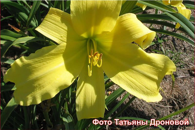 Лилейник 'Эмералд Айсл' / Hemerocallis 'Emerald Isle'