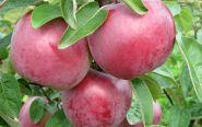 Яблоня традиционная Имант