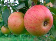 Яблоня традиционная Медуница (Подвой среднерослый ММ106 и 54-118, 2 года)