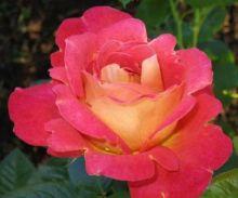 Роза плетистая Арлекин (корнесобственная)