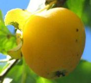 Яблоня традиционная Китайка золотая