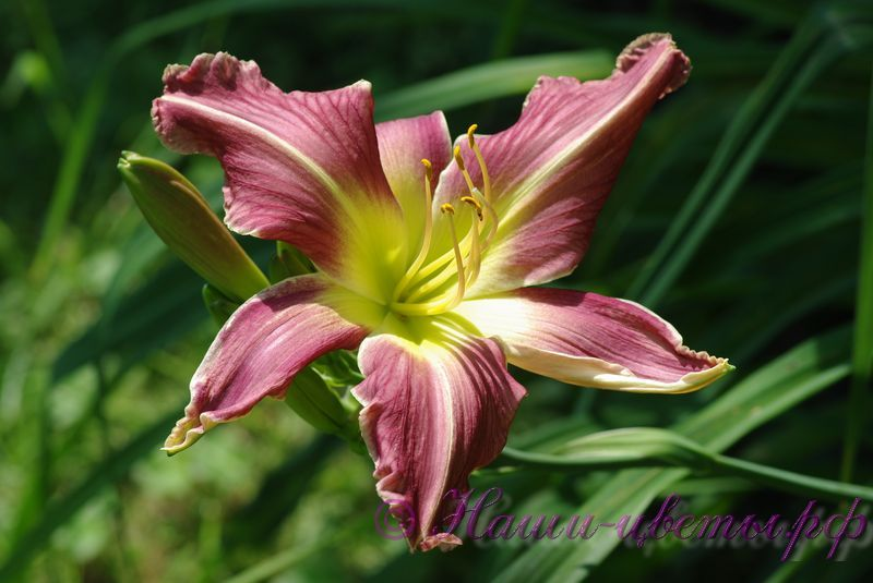 Лилейник 'Уотчил Уайлд Индиан' / Hemerocallis 'Watchyl Wild Indian'