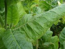 Семена табака сорта Остроконец-45