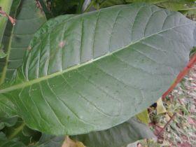 Семена табака сорта СВ-13