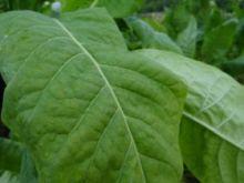 Семена табака сорта Трапезонд Антоциановый окрас