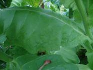 Семена табака сорта Плиска  типичная