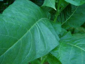 Семена табака сорта Трапезонд 15