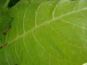 Семена табака сорта Трапезонд 92