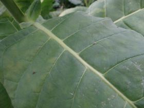 Семена табака Крымский Степной