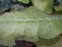Семена табака сорта Tennessee TN-90