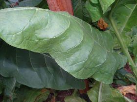 Семена табака сорта Burley 9