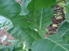 Семена табака сорта Burley 9-А