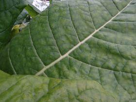 Семена табака сорта Kentucky(Берли).