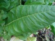 Семена табака сорта KV-908 (Берли)