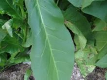 Семена табака сорта Virginia Gold/Pol