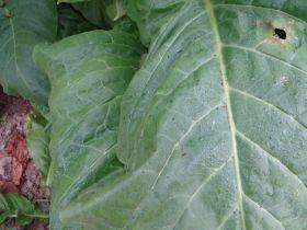 Семена табака сорта Virginia 116