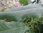 Семена табака сорта Goose Creek Red (Вирджиния)