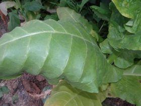 Семена табака сорта Вирджиния (от Гнома)